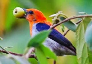 burung pleci juara