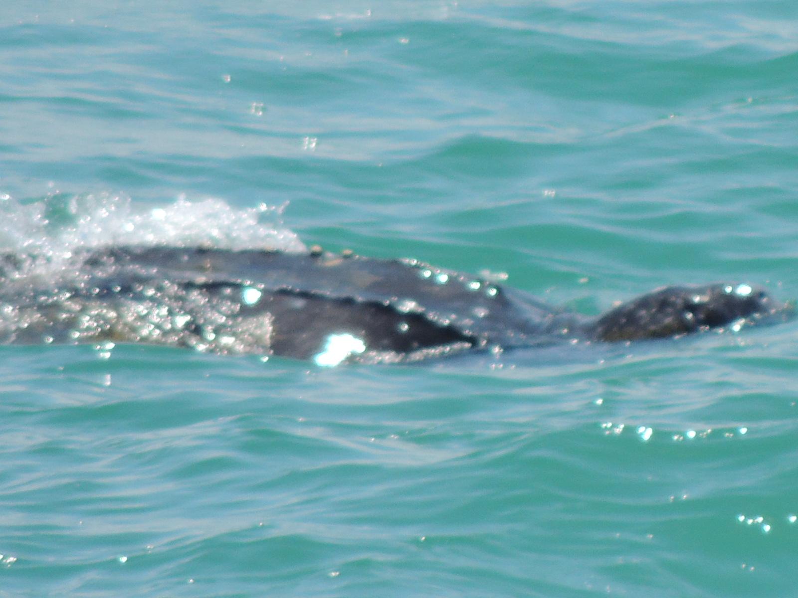 NORTH MYRTLE BEACH SEA TURTLE PATROL Leatherback Sea Turtles