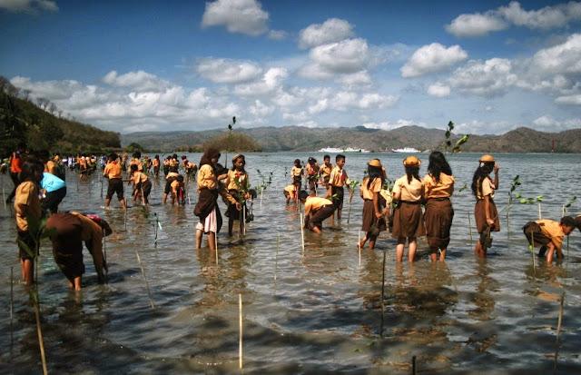 Tanam Mangrove Amankan Teluk Tereng