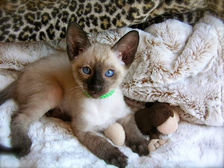 Siamese Kittens for Adoption
