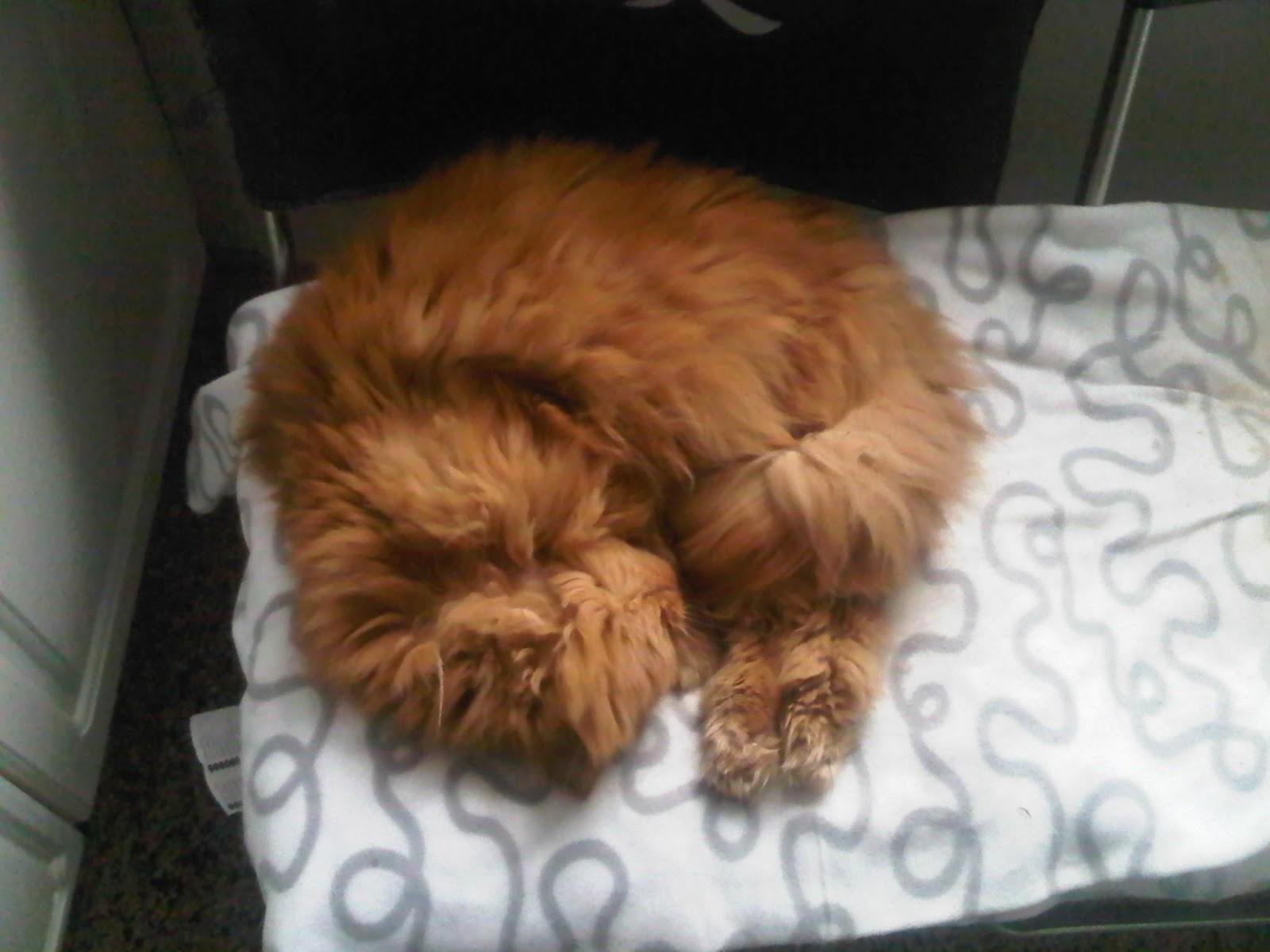 Perserkater schläft eingerollt auf Küchenstuhl