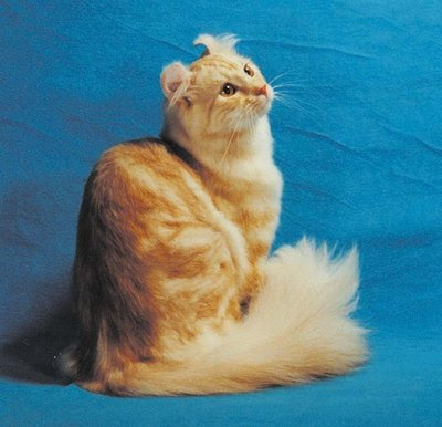 American Curl Breed of cat