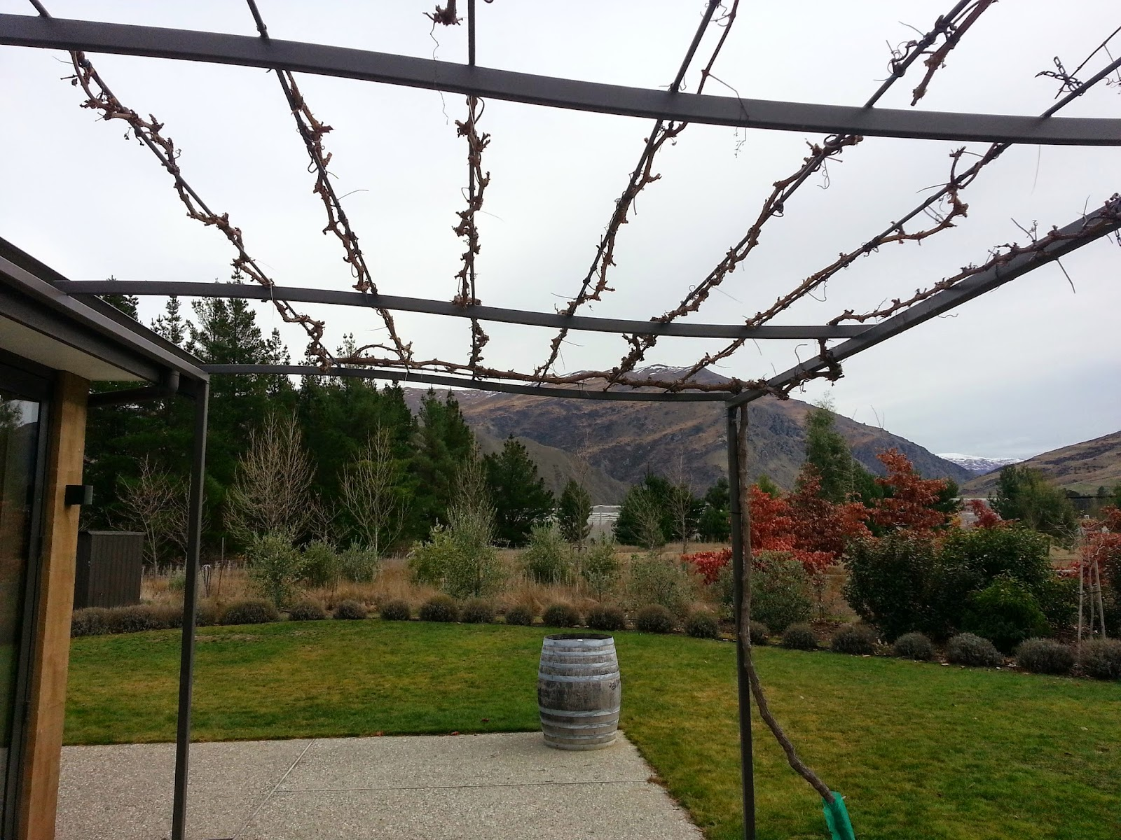 The field of gold growing shade vines on the pergola - How to prune and train the grapevine ...