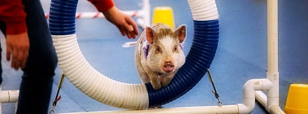Watch this Pig named Amy who thinks she's a Dog via geniushowto.blogspot.com cute Amy clearing the hurdles during her Seattle dog agility classes