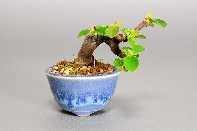 カリン-N1(花梨 プチ盆栽)Chaenomeles sinensis bonsai