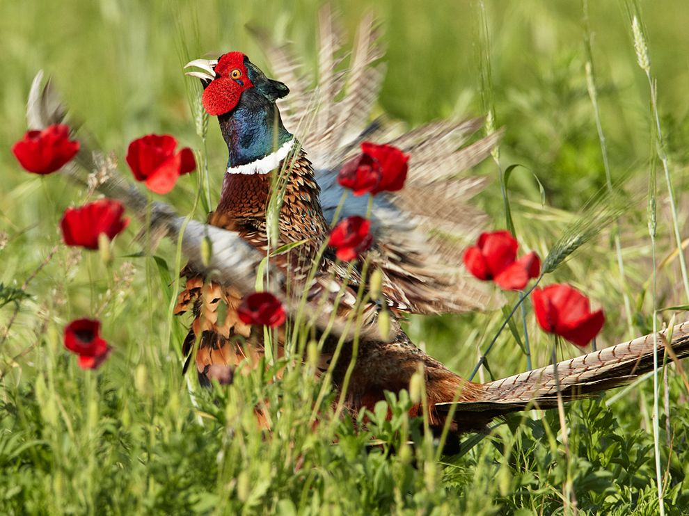 Pheasant Italy World Full Of Art