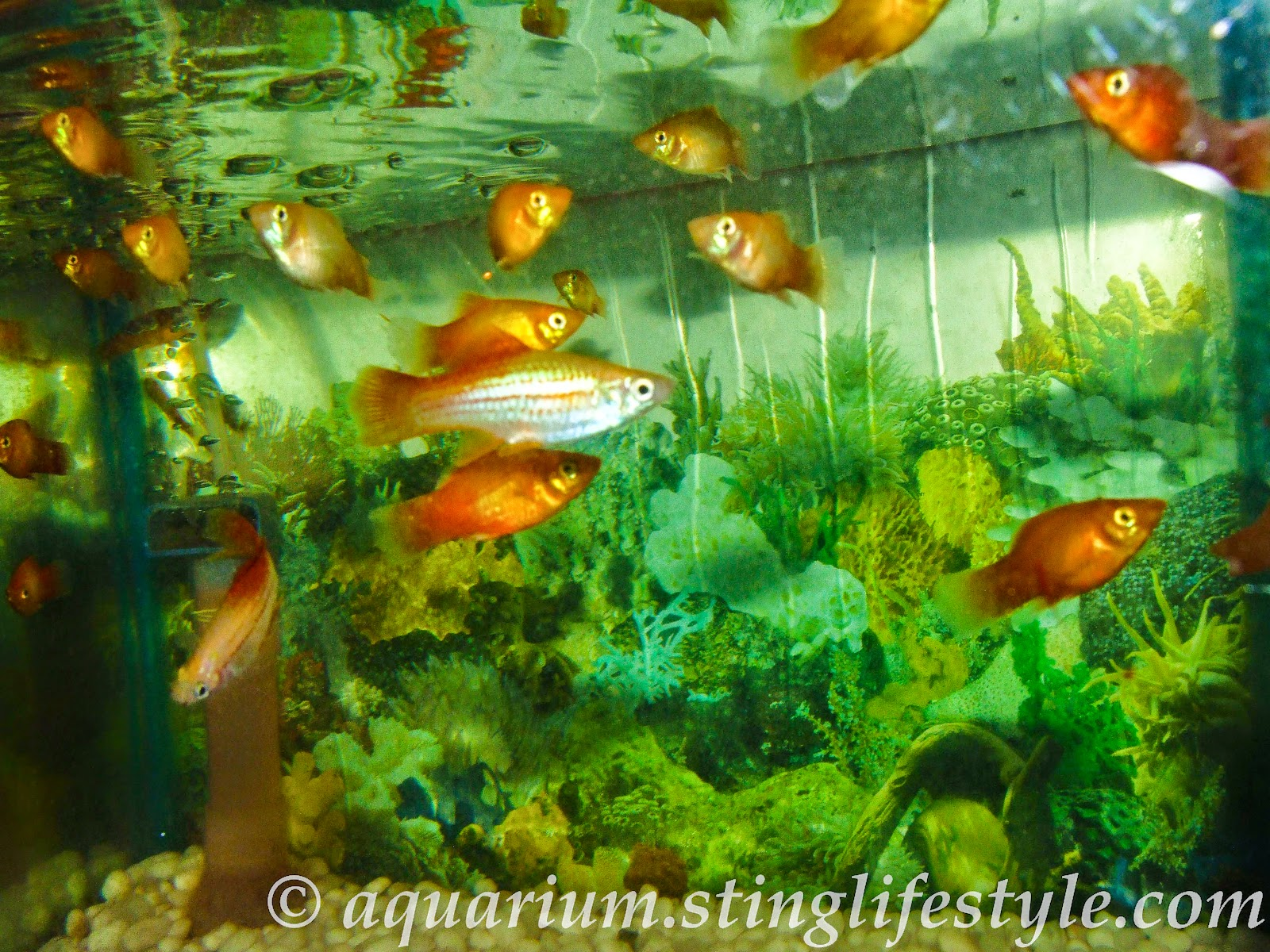 Platy fish pictures aquarium info Livebearer aquarium fish