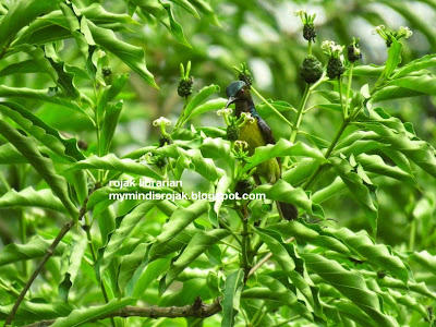 Purple throated Sunbird in Bidadari, May 2015