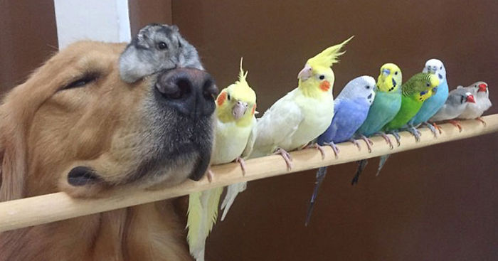 Bob the golden retriever snuggling with his bird and hamster friends, a dog 8 birds and hamster, cute golden retriever photos
