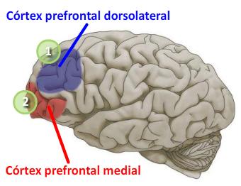 Zonas activas del cerebro (aproximadas)