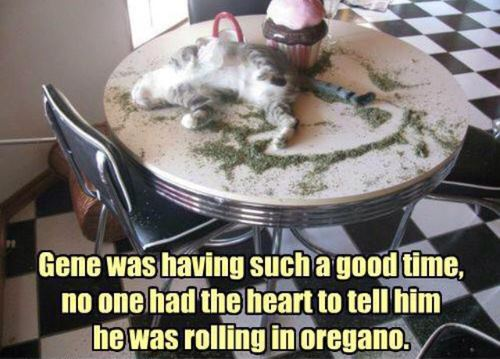 Bwhaha Cat Meme