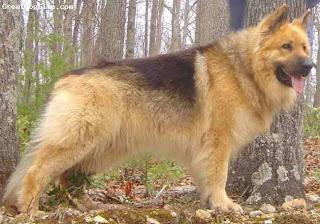 german shepherd dog hound canine pooch canis bow-wow despicable fellow qen txakurra it gos pas pes hond koer aso koira chien can kutya hundur madra cane suns kelb pies perro mbwa kopek ci anjing
