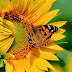 Sunflower and Butterfly hd images photos