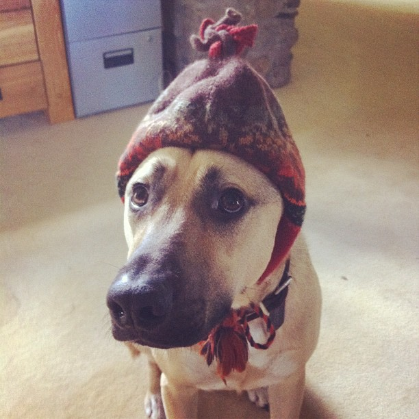 funny animal pictures, dog and hat