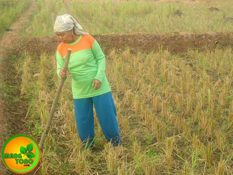 Cara Menanam kacang Hijau di sawah bekas tanaman padi ( Bagian 1 )