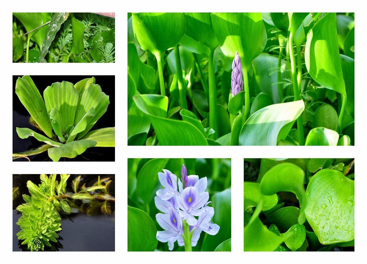 Plantas de regalo TIPOS DE PLANTAS ACUÁTICAS