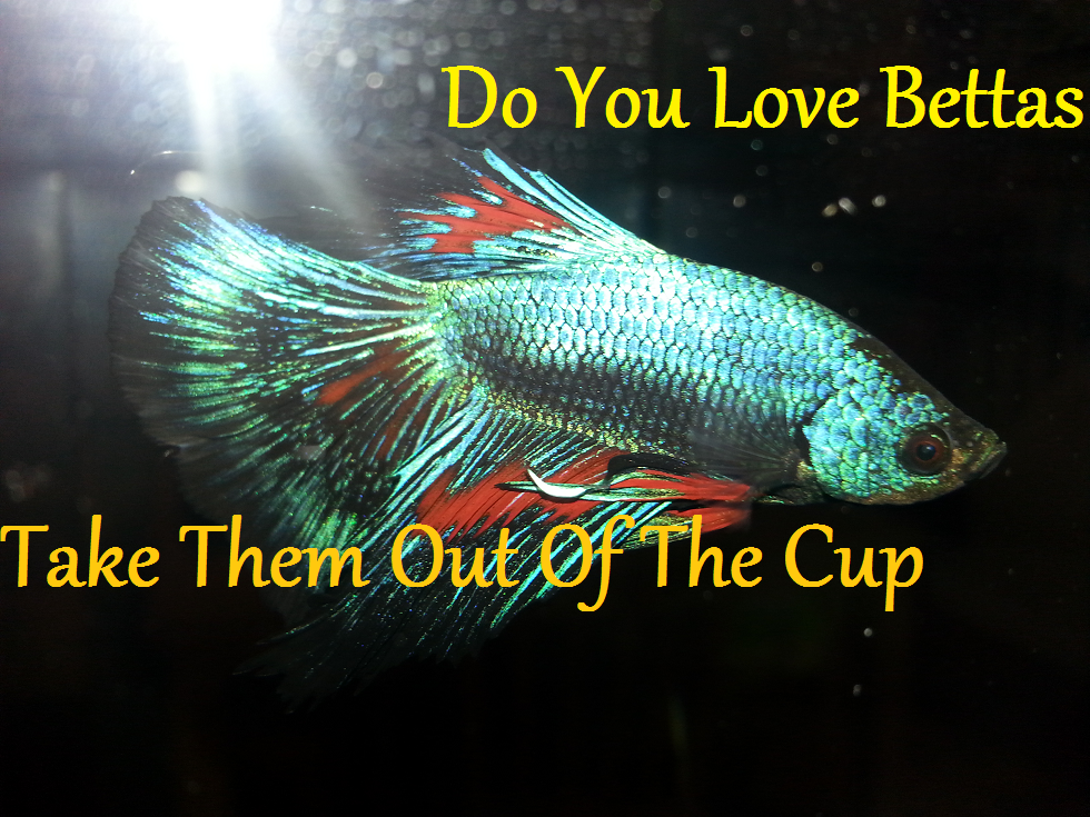 Do You Love Bettas?