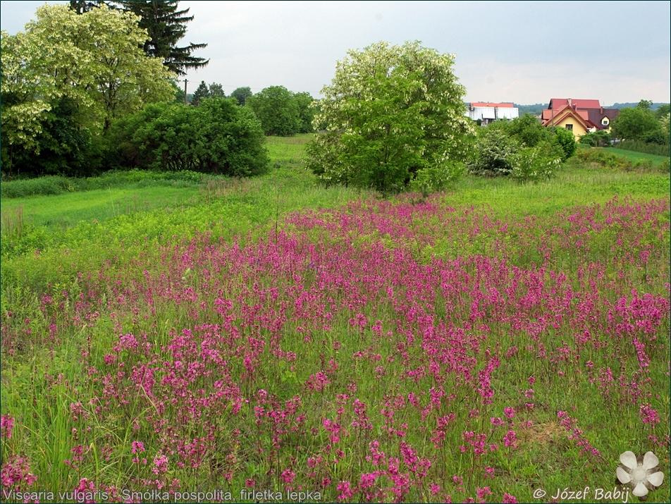 Viscaria vulgaris - Smółka pospolita, firletka lepka