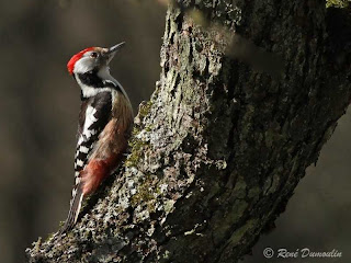 Spotted Woodpeckers at Gite42.com