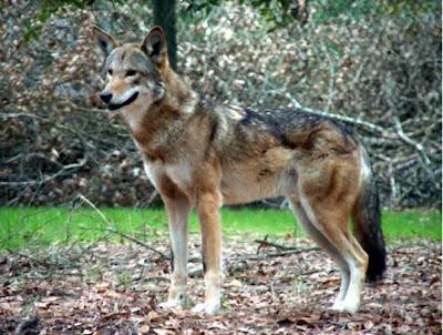 Red+wolf-jenis hewan langka.jpg
