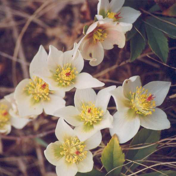Forever wedding planner il significato dei fiori dalla a for Elleboro bianco