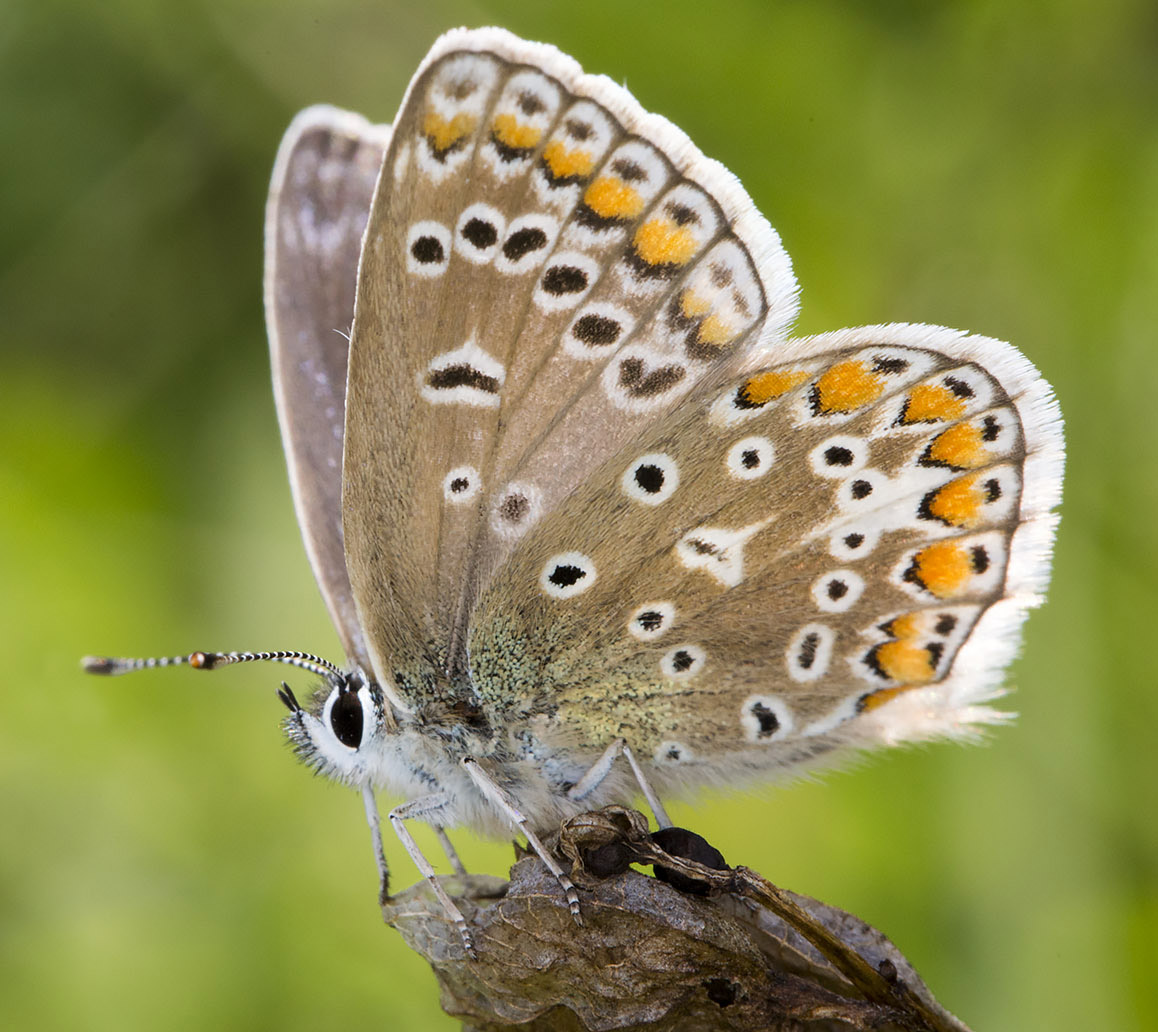 Common Blue butterfly, Polyommatus icarus.  Lycaenidae.   High Elms Country Park, 9 August 2014.