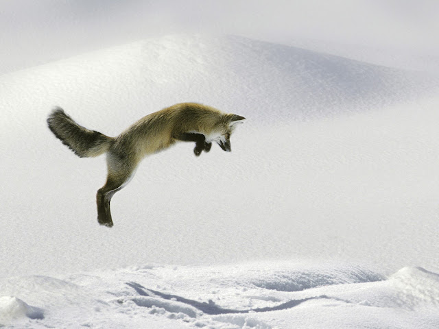 Snow Fox jumping