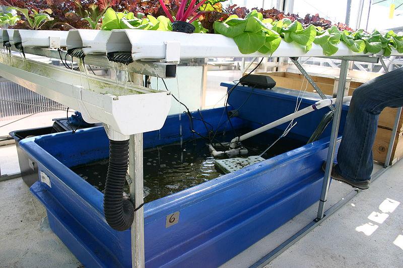 Aquaponics catfish for Aquaponics fish food
