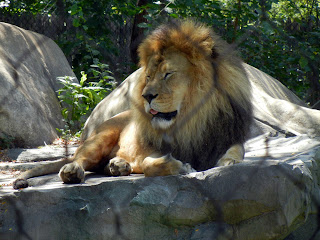 Lion at the Henry Vilas Zoo in Madison, Wisconsin