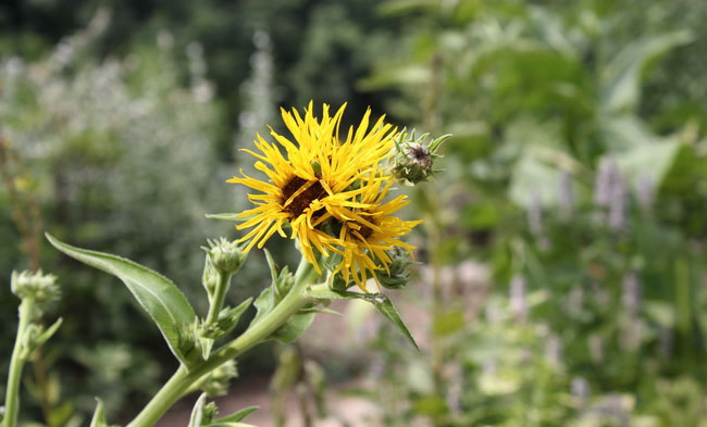 Elecampane Flowers Pictures