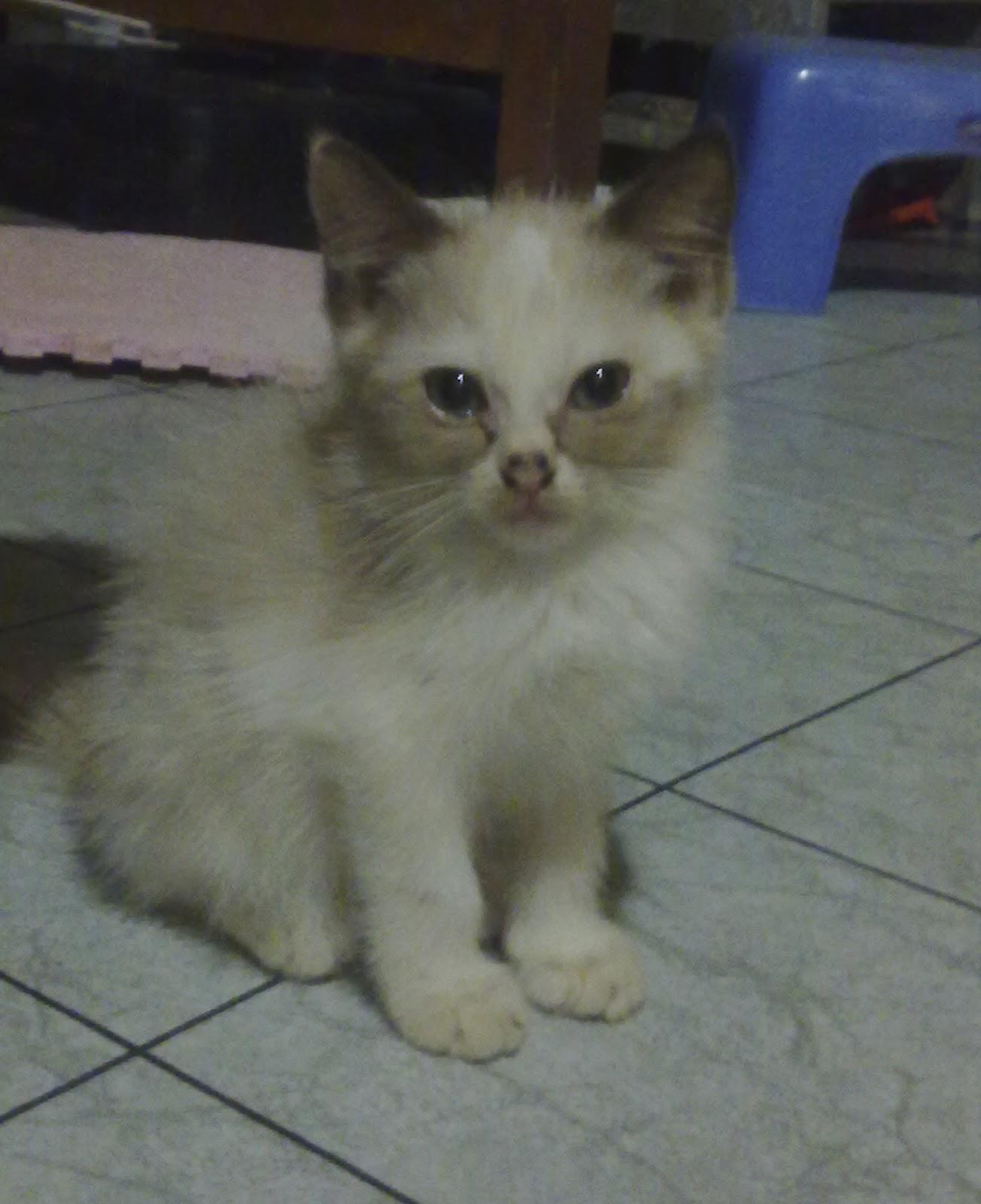 60 Gambar Kucing Persia Mix Lokal Koleksi Populer