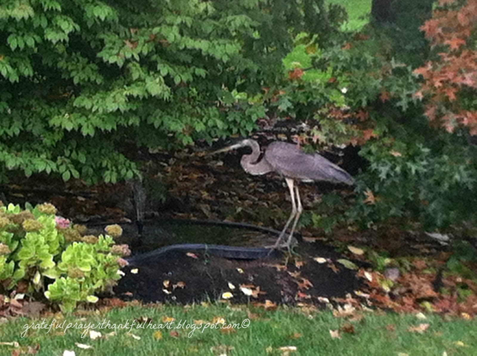 Blue Heron Gone Grateful Prayer Thankful Heart