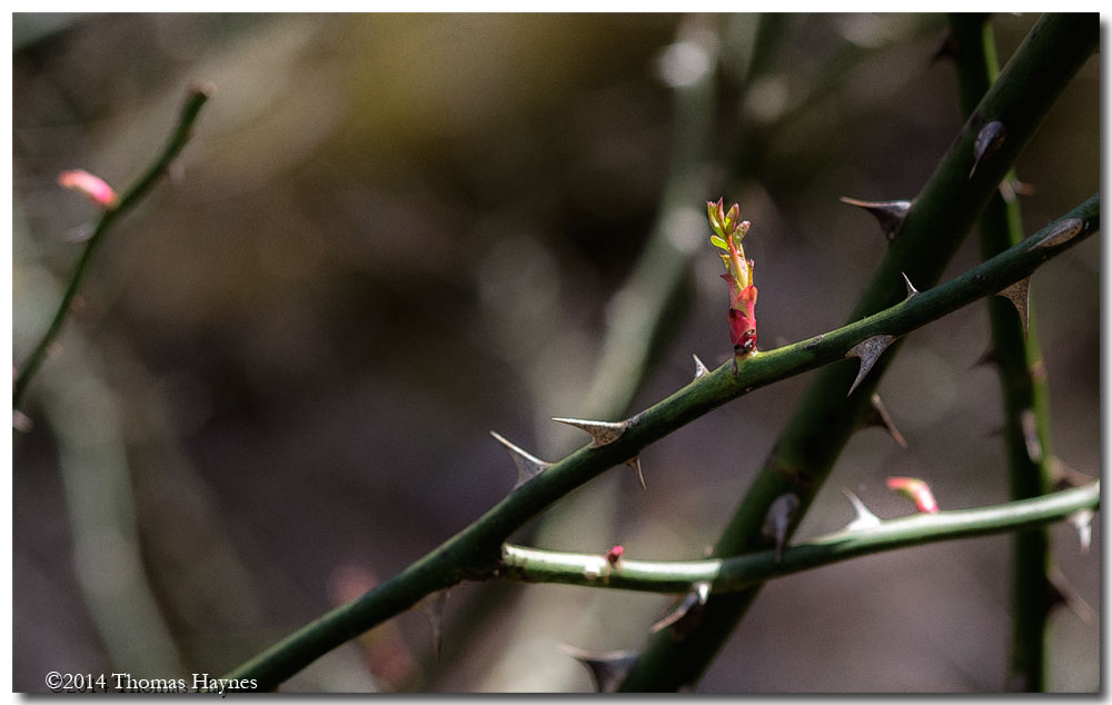 A new colorful branch burst forth in thorny Welsh rose bush