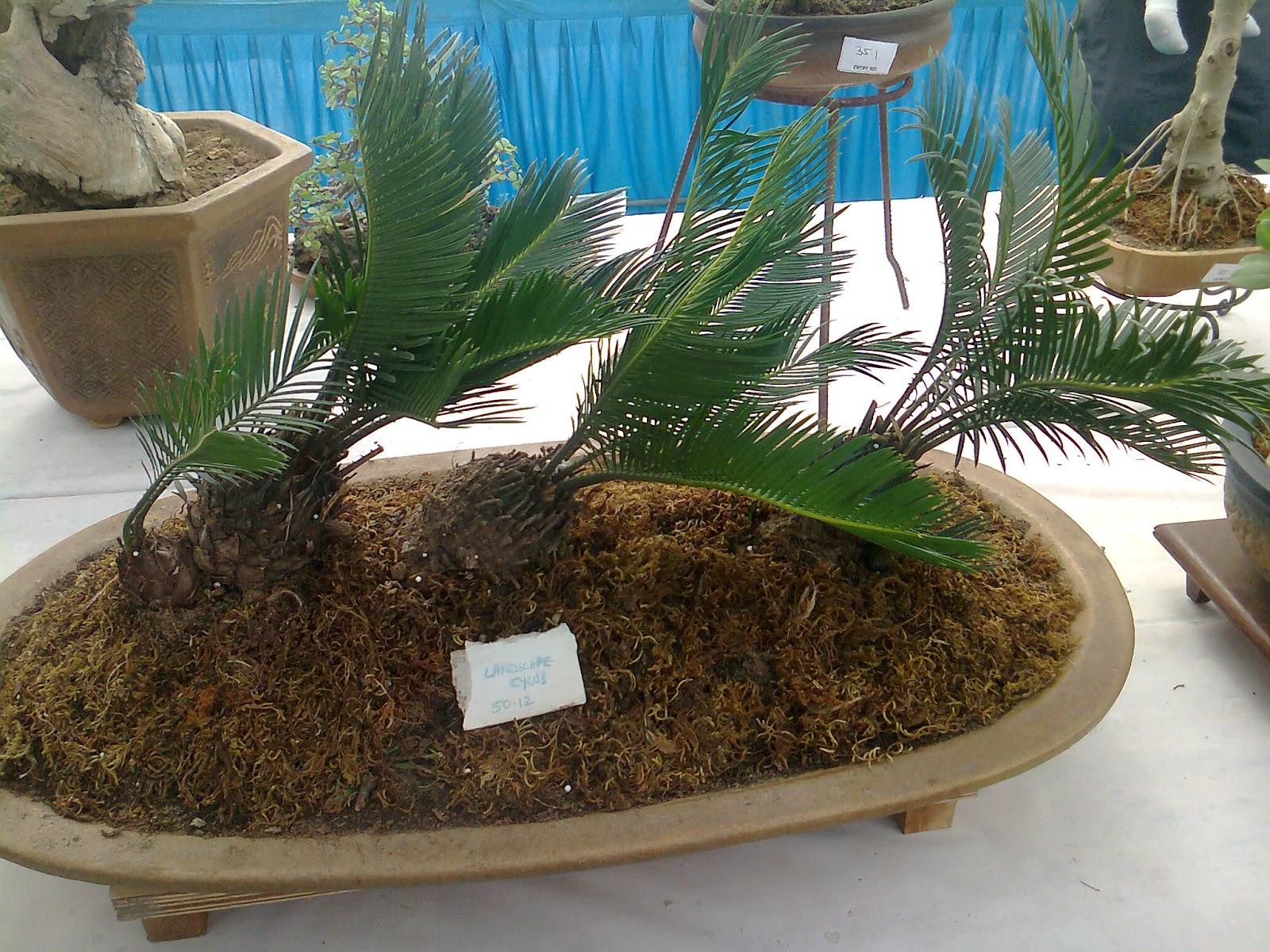 Cycas Revoluta Tree Sago Palm Care Landscape Plant