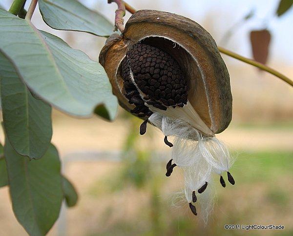 Moth plant (Araujia+cericifera) open seed pod