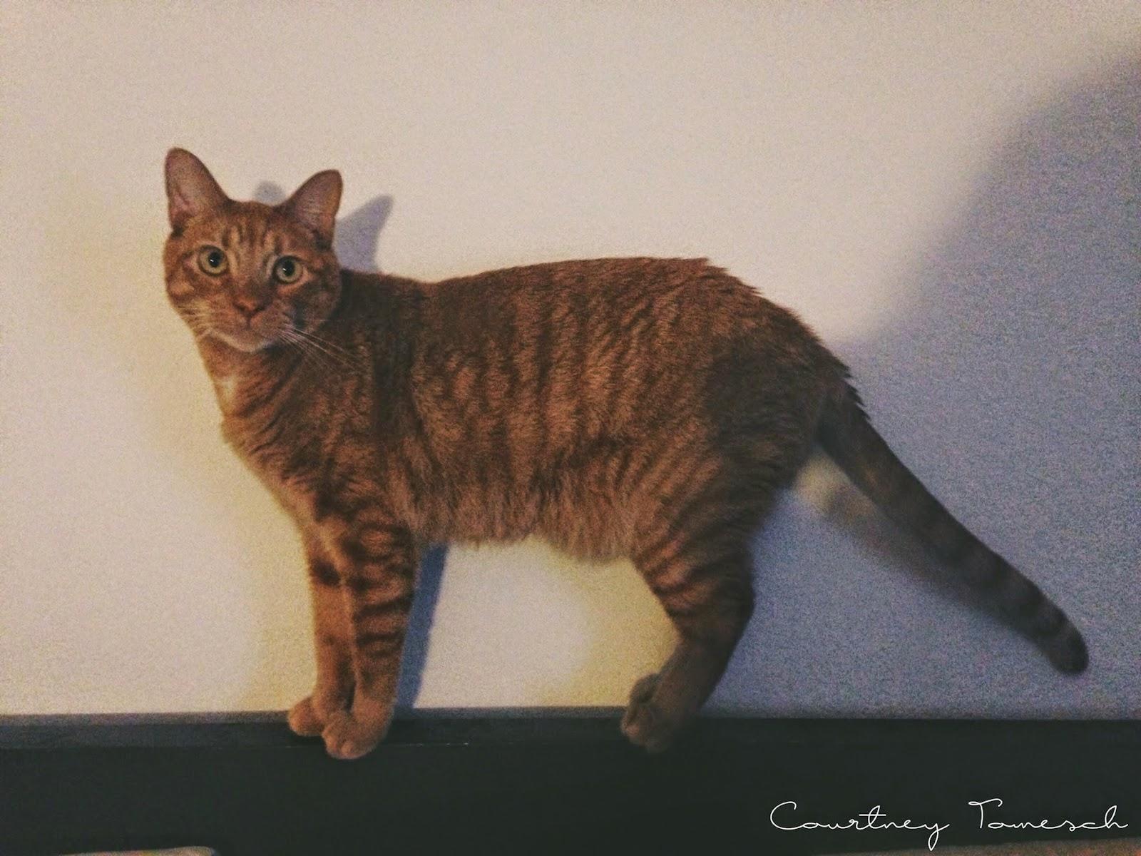 Cruz Ginger Cat