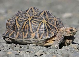 Tortuga carpa común Psammobates tentorius