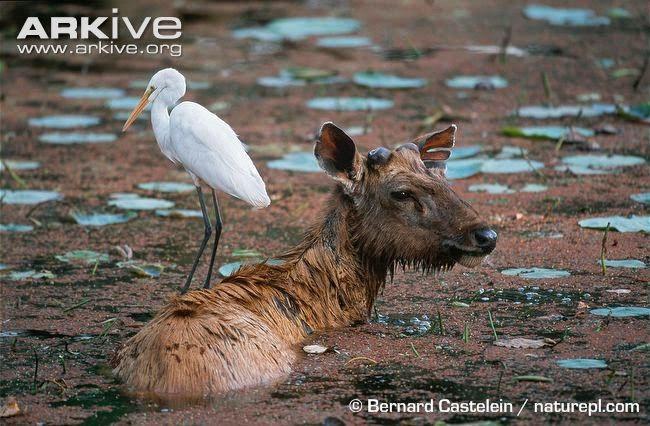 interactions between birds and mammals Great egret