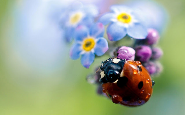 Wallpaper with a ladybug sitting on a flower