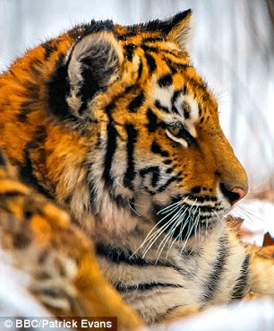 Amur tiger there are only 300 siberian tigers left in the wild