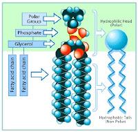 gambar lipid membran