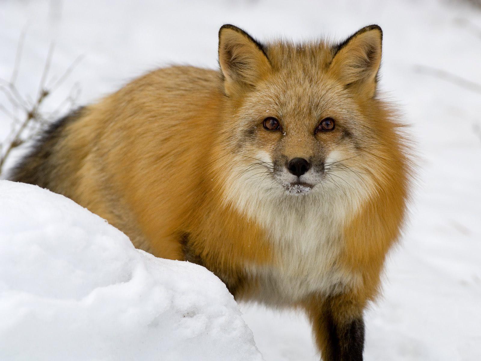 http://1.bp.blogspot.com/-B5I10sEEhjs/UNtfvcI4YkI/AAAAAAAACmk/jpOZHxtt0AU/s1600/Red-Fox-photos-2012%2005.jpg