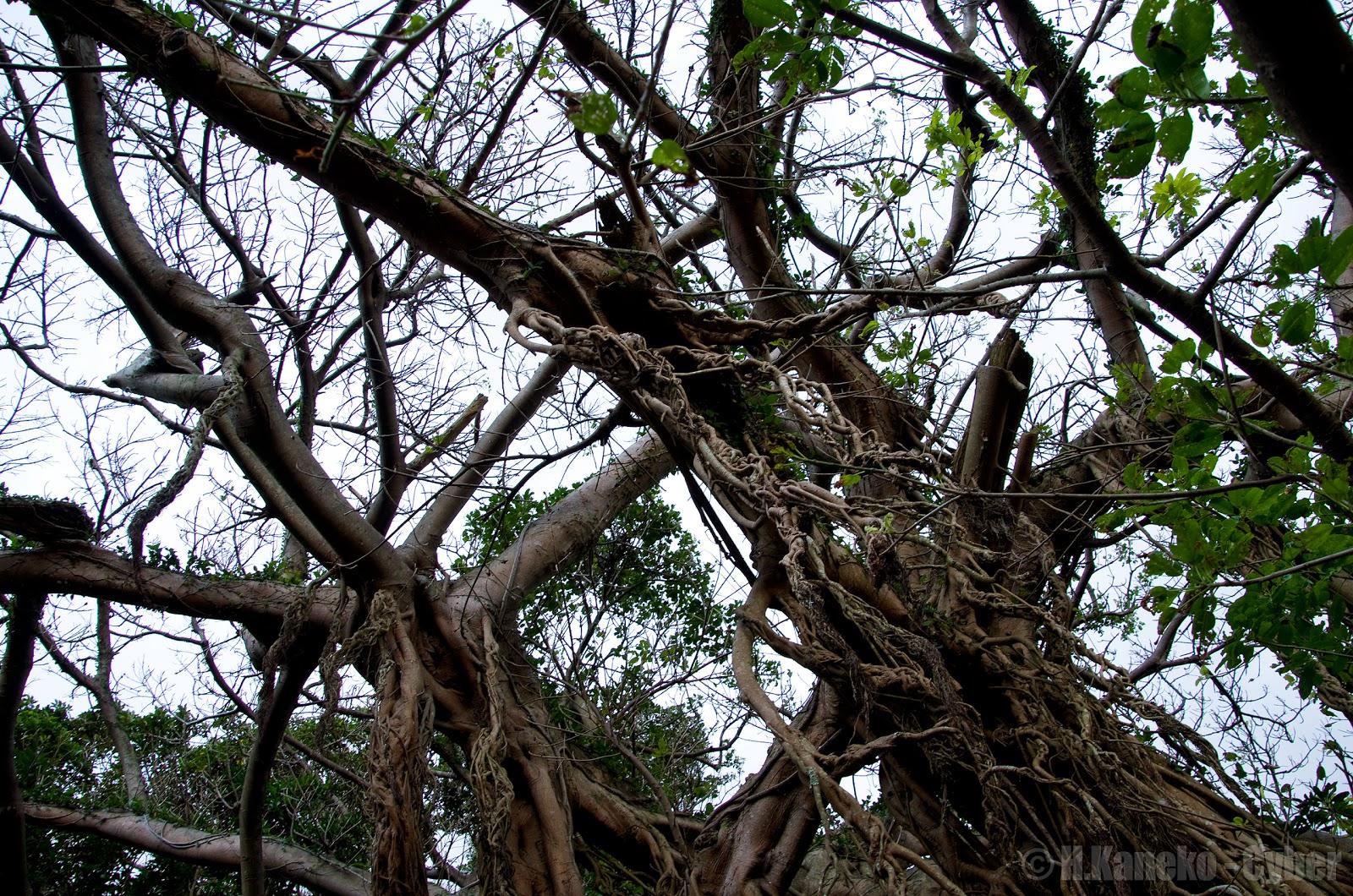 五島樫の浦のアコウ