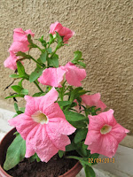 Flush of blooms on Petunia