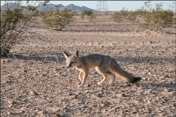 Desert kit fox | Photo: California Department of Fish and Wildlife