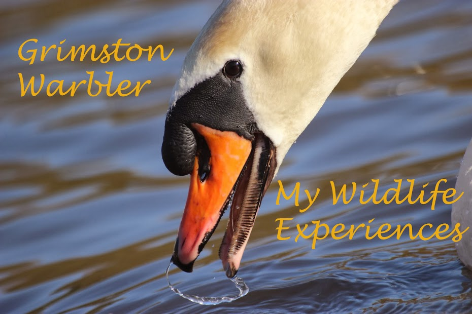 Grimston Warbler