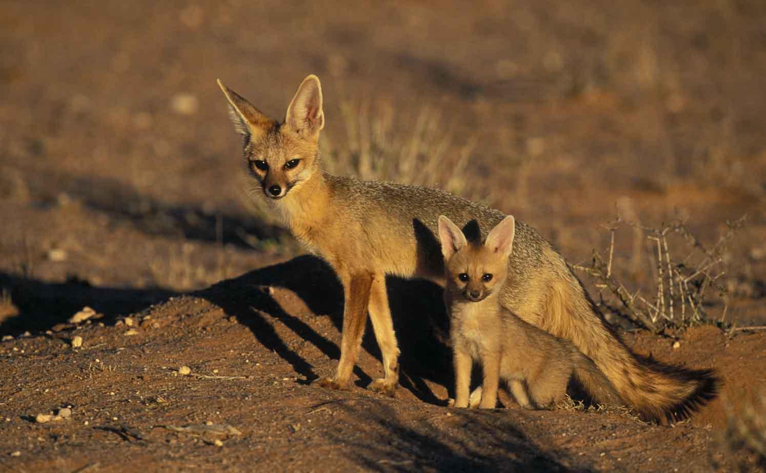 Пенза, зоопарк, обыкновенная лисица, лиса, fox (organism classification), red fox (organism classification), рыжая, обыкновенная, ordinary, fox, red, red fox