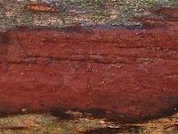Hypoxylon macrocarpum
