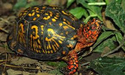 Eastern Box Turtle in full splendor