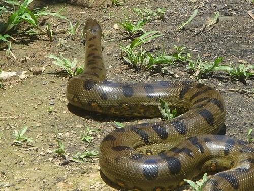 Amazon Rainforest Animals : The Anaconda ~ Amazon ...